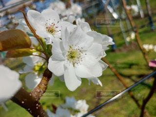 梨の花の写真・画像素材[2069760]