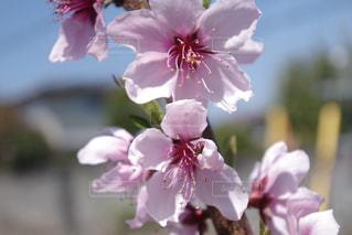 桃の花の写真・画像素材[2069761]
