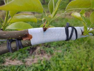 梨のジョイントのクローズアップの写真・画像素材[2102364]