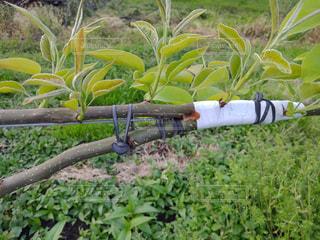 梨のジョイント栽培の写真・画像素材[2102365]