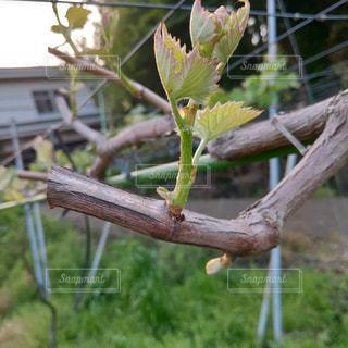 ブドウの萌芽の写真・画像素材[2102366]