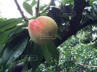 木の枝にある緑の桃の写真・画像素材[2102392]