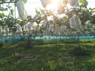 ブドウ畑の写真・画像素材[2102395]