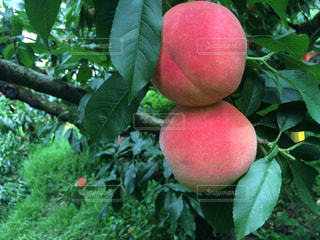 木に実っている桃の写真・画像素材[2102396]