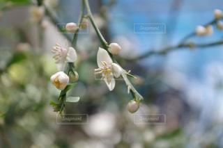 フィンガーライムの花のクローズアップの写真・画像素材[2102398]