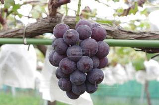 果物のクローズアップの写真・画像素材[2102402]