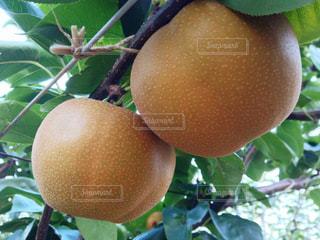 梨の果実 あきあかりの写真・画像素材[2113881]