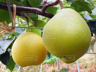 梨の果実 八達の写真・画像素材[2113882]