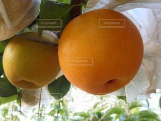 梨の果実 新星の写真・画像素材[2113883]
