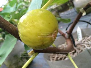 イチジク(カドタ)の果実の写真・画像素材[2113884]