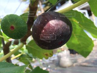 イチジク(ブラックイスキア)の果実の写真・画像素材[2113886]