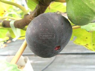 イチジク(ビオレソリエス)の果実の写真・画像素材[2113888]