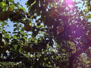 梨の木の写真・画像素材[2113892]