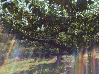 梨畑の写真・画像素材[2113893]