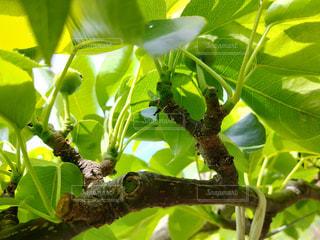 梨の短果枝の写真・画像素材[2113897]