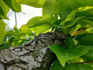 芽欠き前の写真・画像素材[2113898]