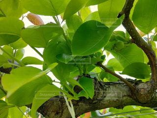 梨の芽欠き前の写真・画像素材[2113900]