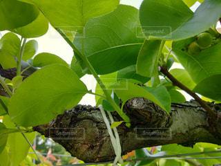 梨の芽欠き後の写真・画像素材[2113901]