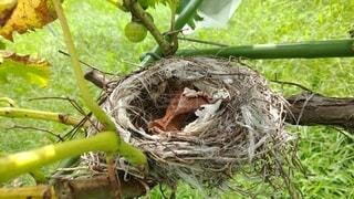 ブドウの枝にある鳥の巣の写真・画像素材[3601406]