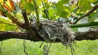 ブドウの枝にある鳥の巣の写真・画像素材[3601404]
