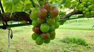 色付きはじめたブドウの写真・画像素材[3601432]