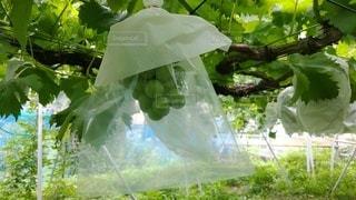 BIKOOの袋をかけた、まだ熟していないブドウの写真・画像素材[3601433]