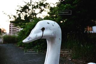 公園で座っている白鳥の写真・画像素材[845696]