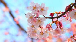 春の写真・画像素材[666459]