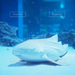 白いサメの写真・画像素材[1223880]