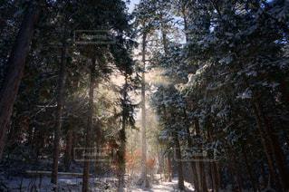 森、雪、光の写真・画像素材[1020696]
