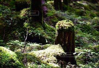 白駒池の森の苔の写真・画像素材[718620]