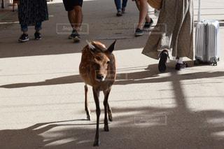 厳島の鹿の写真・画像素材[1565080]