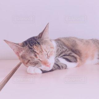 白い面の上に横たわる猫の写真・画像素材[1373662]