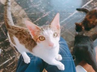 膝の上に乗っておやつをねだる子猫の写真・画像素材[1637103]