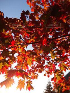 赤く紅葉するモミジの葉の写真・画像素材[804154]