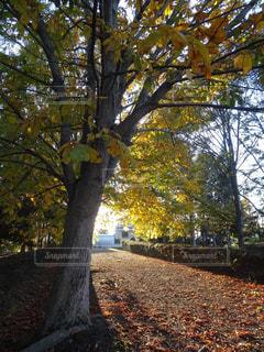 紅葉している並木道の写真・画像素材[813573]