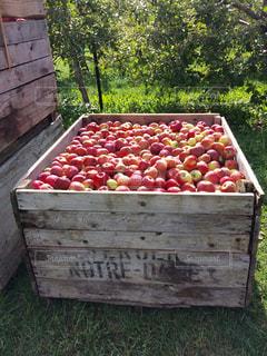 秋、りんご畑のりんご達の写真・画像素材[773843]