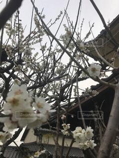 梅の木に花が咲いたの写真・画像素材[1080826]