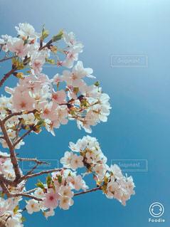 桜 満開の写真・画像素材[1144712]