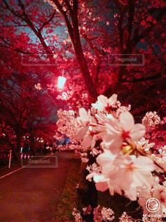 夜桜  街灯  きれい⁉️の写真・画像素材[1144713]