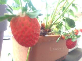 いちご 家庭菜園 プランター栽培 イチゴの写真・画像素材[670713]