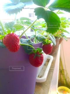 イチゴ プランター栽培 家庭菜園の写真・画像素材[671148]