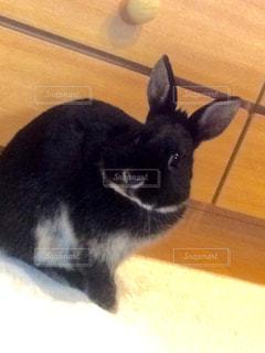 うさぎ ウサギ ペット - No.671657
