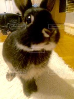 ウサギ うさぎ ペット - No.671659
