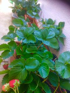 イチゴ 家庭菜園 コンテナ栽培 緑の写真・画像素材[673913]