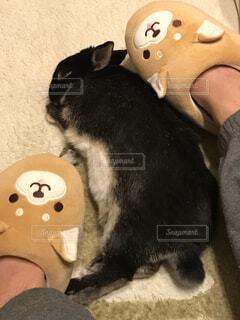 柴犬と寝んねするうさぎさんの写真・画像素材[4261327]