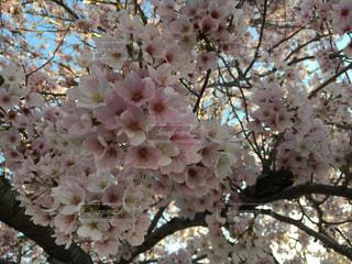 春の写真・画像素材[481014]