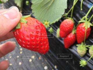 苺の写真・画像素材[481479]