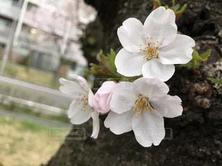 桜の写真・画像素材[484204]