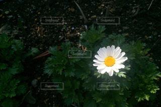黄色の花の写真・画像素材[887152]
